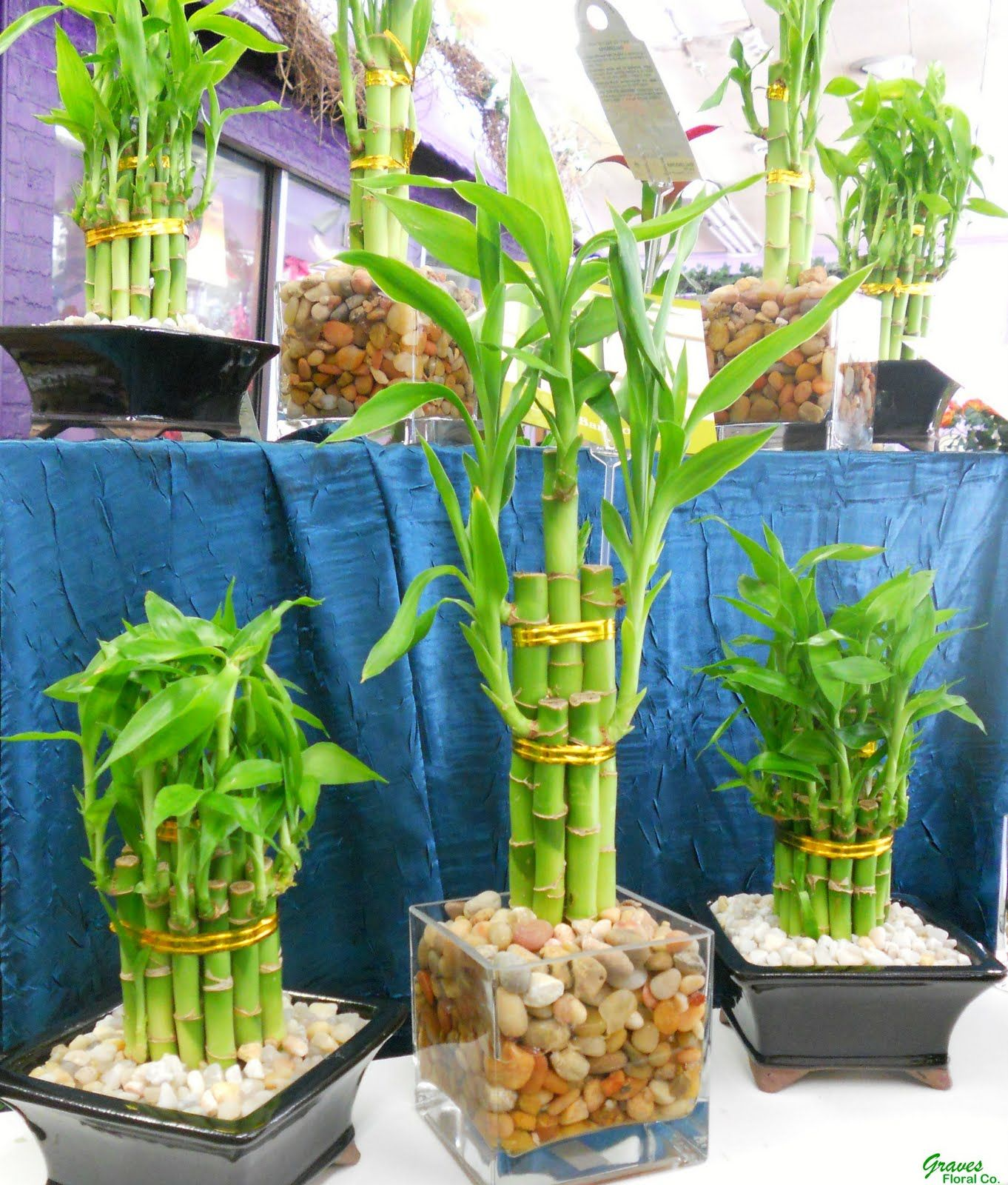 Home So Natural With Water Bamboo, Here's How to Cultivate it!